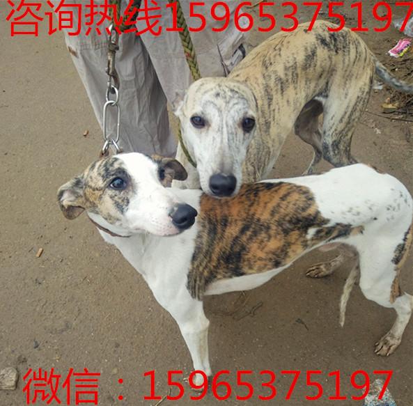 山西省阳泉市黑狼犬价格黑狼犬幼犬价格黑狼犬正规养殖场