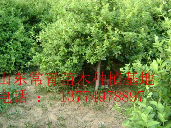 行道树,花灌木,乔木,色块类,绿篱类,观赏竹类,花卉盆景类,花篱类,刺篱