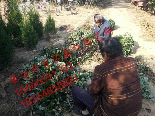 红宝石特别适合我国南方拱棚和北方日光温室栽种;是目前综合性状优良