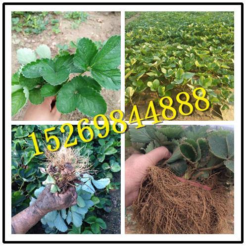 鄂州达娜草莓苗批发价格