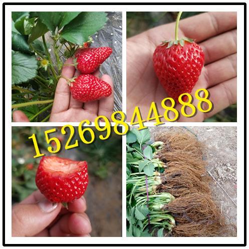 大同丰香草莓苗种植技术