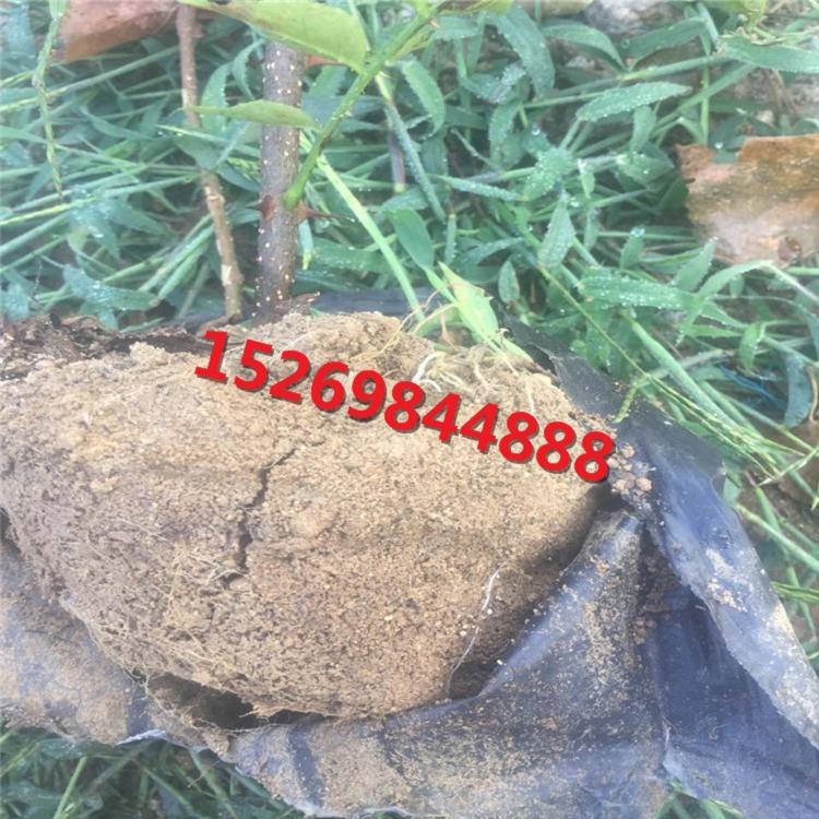 (2)自然开心形:自然开心形的树形结构是:干高20—30厘米,在主干上