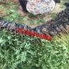 通什九叶青花椒苗种植方法
