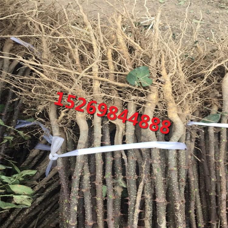 麻椒基地报价 (二)土壤管理 新栽植的幼树,都要进行轮换扩窝,以利花椒幼树根系生长发育。在荒坡荒山上建立的花椒园,由于土层浅薄,土壤结构差,扩窝工作尤为重要。 (1)基肥:摘椒后直到次年春季花椒发芽前,均为基肥施用时期,但以摘椒后立即施用基肥为最好。基肥以有机肥为主,并混合施入磷肥。秋季施基肥,土壤潮湿,地温较少高,有利于土壤微生物的繁殖,使有机物有效地转变为无机盐,迅速被花椒根系吸收,增加树体营养,起到恢复树势的作用。同时,还有利于提高冬季土壤温度,促进花椒来年正常生长发育。 (3)培土(换土):目前绝
