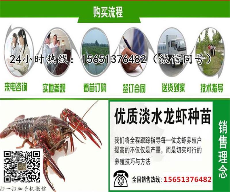 济宁 种虾批发 小龙虾种苗批发鱼塘可以养殖小龙虾吗