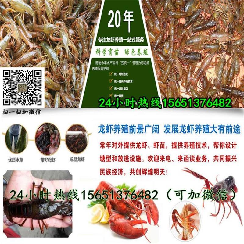 济宁 种虾批发 小龙虾种苗培育稻田养殖小龙虾技术