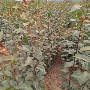 树莓苗|哈尔滨依兰县双季树莓苗|价格行情!泰安开发区