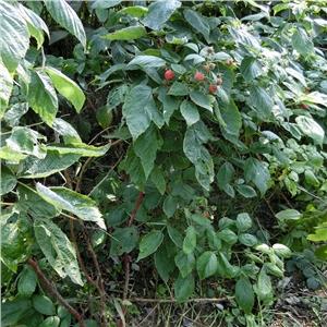 树莓苗|四川绵阳双季树莓苗|哪里卖@泰安开发区轩园园艺场欢迎您