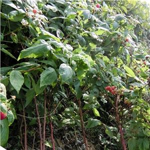 树莓苗|浙江湖州双季树莓苗|基地价格=泰安开发区轩园
