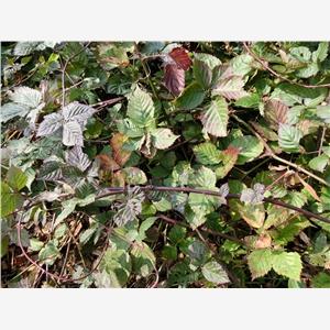 树莓苗|浙江金华双季树莓苗|基地价格=泰安开发区轩园