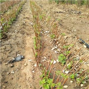 树莓苗|北京双季树莓苗|经济效益/泰安开发区轩园园艺