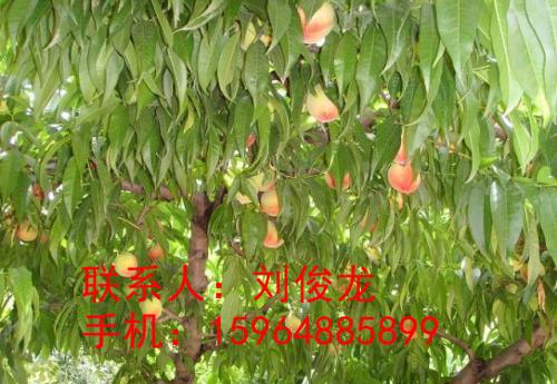 桃树苗木的夏季修剪直接关系到鲜桃的质量,这期间会有一些青涩的