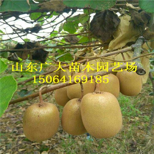 猕猴桃树栽培管理技术甘肃泰山一号猕猴桃苗价格