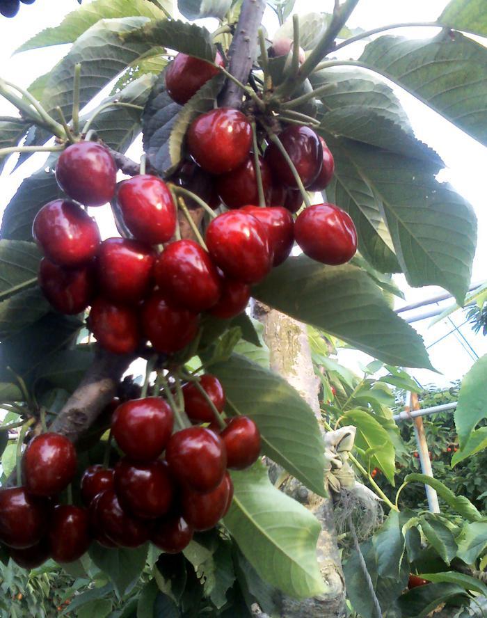 山东威海大红灯樱桃树苗多少钱一棵