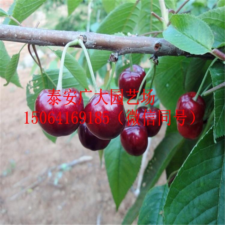 樱桃苗价格查询抚顺布鲁克斯樱桃树报价