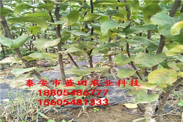 梨树苗的价格梨树苗出售重庆梨树树苗