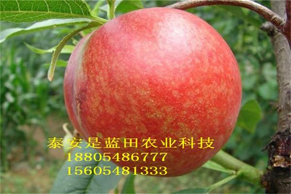 新川中岛桃树苗占地桃树价格映霜红桃苗