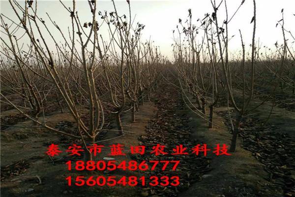 矮化吉塞拉6号砧木樱桃树苗樱桃幼苗基地