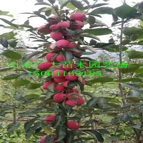 苹果苗价格多少钱蚌埠红富士苹果树出售