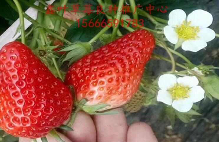 鑫叶优质良种草莓苗专业繁育场欢迎您!  红玫瑰 荷兰品种。植株较矮,长势中等,果实圆锥形,果个均匀,级序果平均单重26克,51克。果面鲜红色,光亮艳丽,果味香甜。  草莓育苗地区出现持续大到暴雨,田间普遍积水,局部发生严重内涝,导致草莓田受淹,使草莓苗生长受到影响。随着夏季高温来临,苗期主要病虫害将发生为害。当前正值草莓发苗关键时期,应科学防控病虫害为害,降低洪涝灾害影响。 加强田间管理,提高植株抗逆能力。 受淹苗地在水退后,要迅速开沟,尽快排干积水,尽量缩短草莓苗受淹时间,并及时中耕松土,促进草莓恢复
