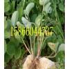 酒泉核桃樹苗,板栗樹苗,柿子樹苗種苗價格