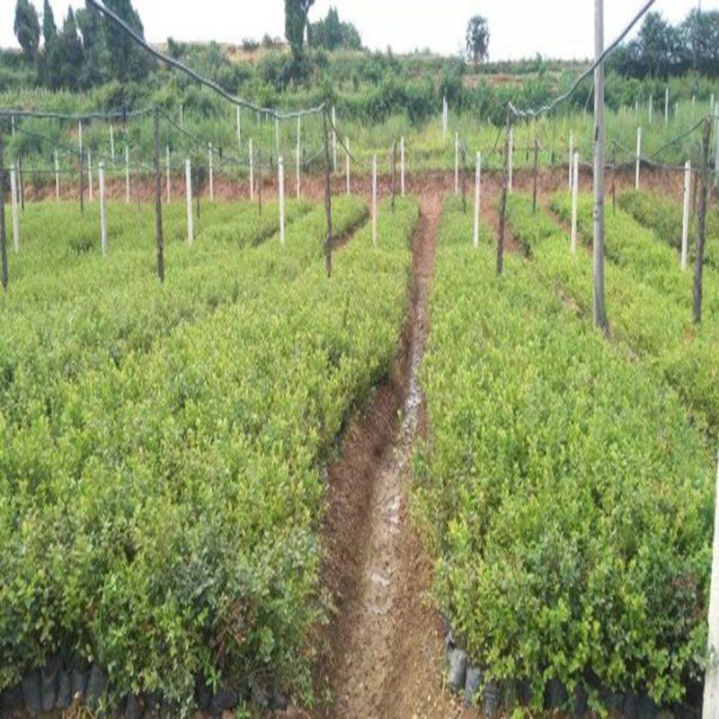阿克苏专业培育公爵蓝莓苗多少钱一棵