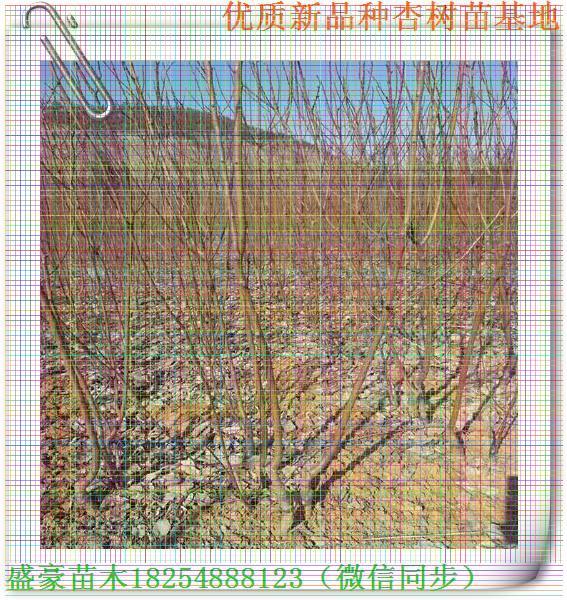 杏树苗河源吊死干杏树苗栽培技术特点1.繁殖和栽植作经济栽培时,杏多用嫁接法繁殖。砧木一般用普通杏,可根头癌肿病的发生;也可用毛桃或山桃,易早果丰产,但寿命较短;用李作杏砧,则易生萌蘖。种子秋播或层积后春播,层积天数需70~100天。嫁接:夏秋季多用芽接,春季多用枝接。具体操作技术和接后可参见其他果树。花期霜冻是影响杏产量性的主要原因。栽植地应选背风向阳和排水良好之处,冷空气易沉积的洼地不宜选用。成片集中栽培时,需建立防风林。选用晚花品种,有利于避开霜冻。杏果不耐贮藏,为鲜果供应期,栽植时应有意识选择错开成