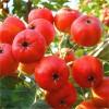 河北大金星山楂树苗种植基地