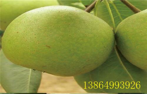 柳州梨树苗|苏翠一号梨苗种植技术