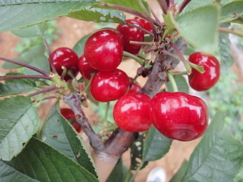 四川法兰地草莓苗价格