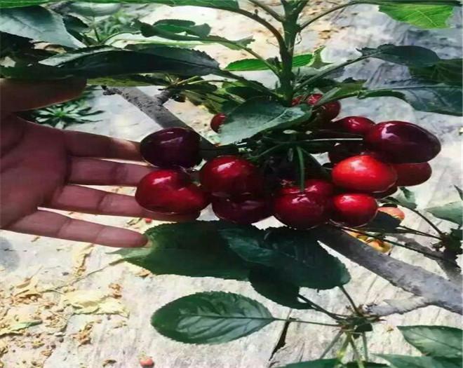 福建妙香7号草莓苗价格