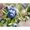 辽宁莱克西蓝莓苗种植基地