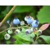 山东地栽蓝莓苗价格