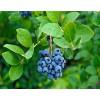 河北地栽莱克西蓝莓苗价格