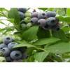 安徽地栽薄雾蓝莓苗种植基地