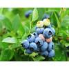 四川3年的蓝莓苗种植基地