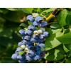 云南当年结果的蓝莓苗种植基地